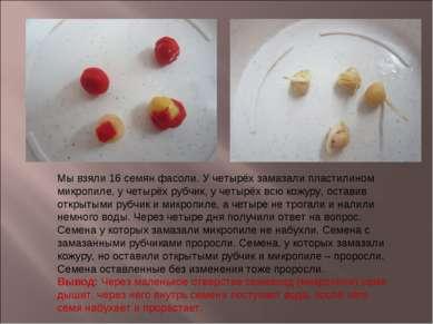 Мы взяли 16 семян фасоли. У четырёх замазали пластилином микропиле, у четырёх...