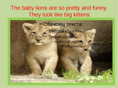 The baby lions are so pretty and funny. They look like big kittens