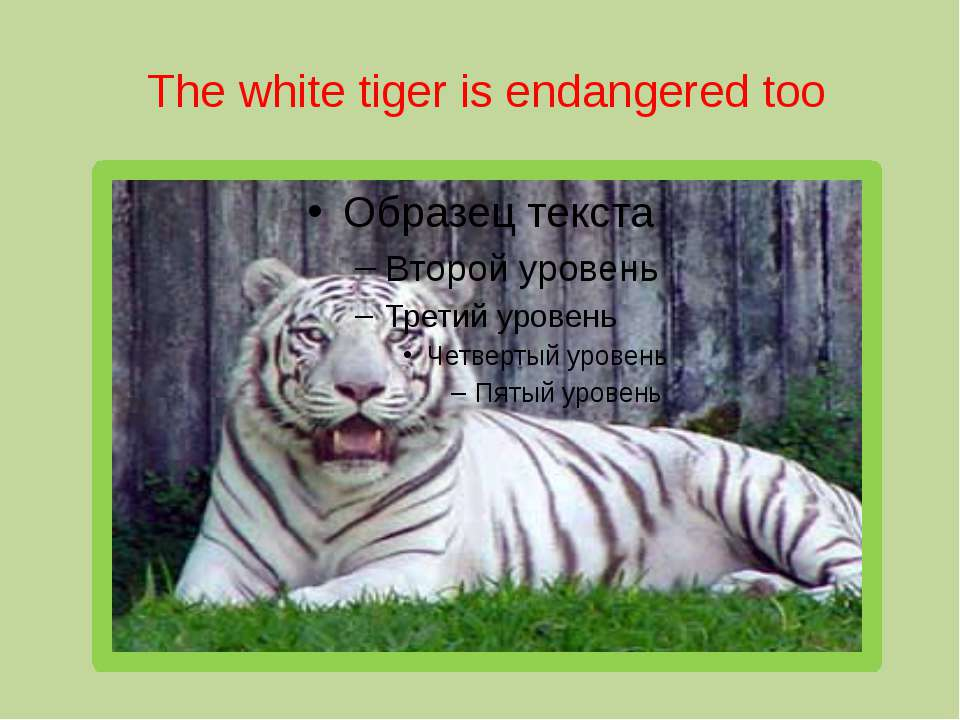 The white tiger is endangered too