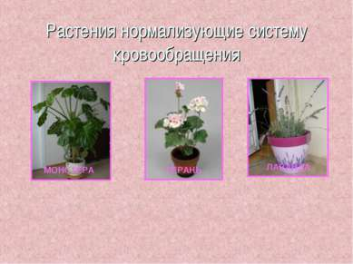 Растения нормализующие систему кровообращения МОНСТЕРА ГЕРАНЬ ЛАВАНДА