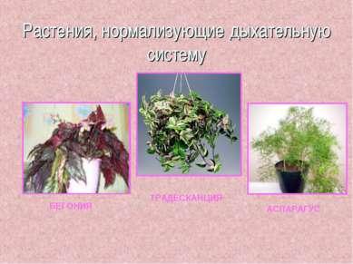 Растения, нормализующие дыхательную систему БЕГОНИЯ ТРАДЕСКАНЦИЯ АСПАРАГУС