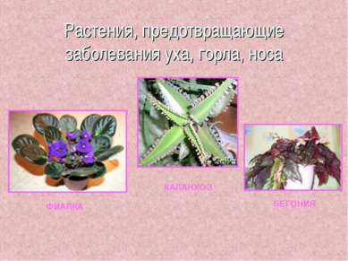Растения, предотвращающие заболевания уха, горла, носа ФИАЛКА КАЛАНХОЭ БЕГОНИЯ