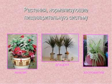 Растения, нормализующие пищеварительную систему ФУКСИЯ ДРАЦЕНА ХЛОРОФИТУМ