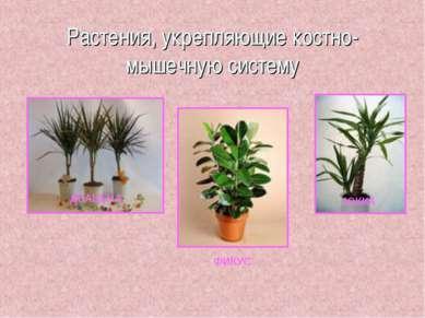 Растения, укрепляющие костно-мышечную систему ДРАЦЕНА ФИКУС ЮККА