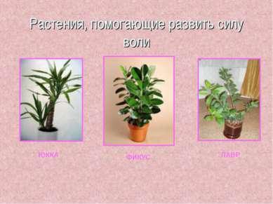 Растения, помогающие развить силу воли ЮККА ФИКУС ЛАВР
