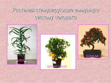 Растения стимулирующие иммунную систему человека АЛОЭ ЦИТРУСОВЫЕ БОНСАИ