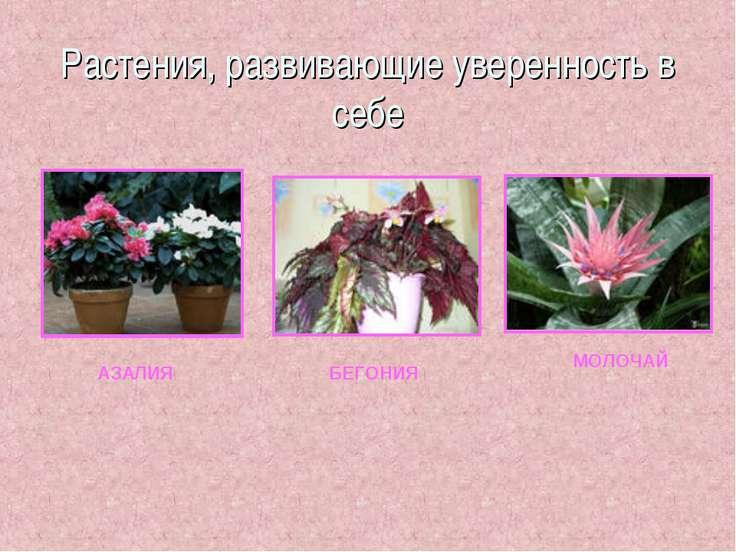 Растения, развивающие уверенность в себе АЗАЛИЯ БЕГОНИЯ МОЛОЧАЙ