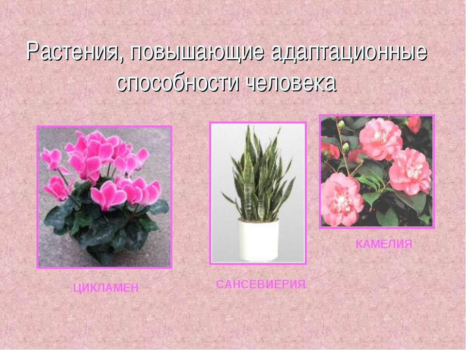 Растения, повышающие адаптационные способности человека ЦИКЛАМЕН САНСЕВИЕРИЯ ...