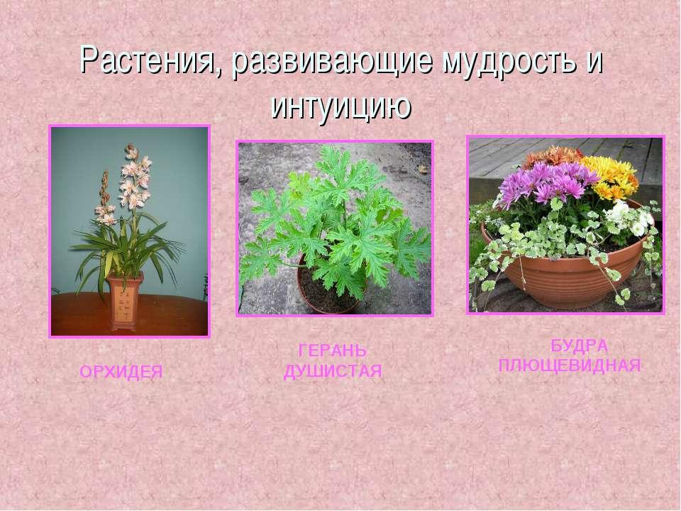 Растения, развивающие мудрость и интуицию ОРХИДЕЯ ГЕРАНЬ ДУШИСТАЯ БУДРА ПЛЮЩЕ...