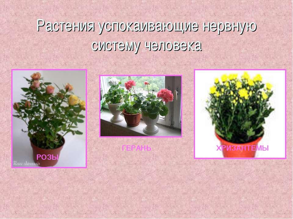 Растения успокаивающие нервную систему человека РОЗЫ ГЕРАНЬ ХРИЗАНТЕМЫ