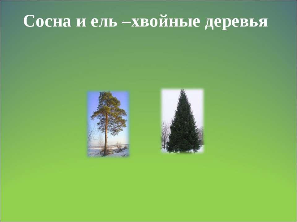 Сосна и ель –хвойные деревья