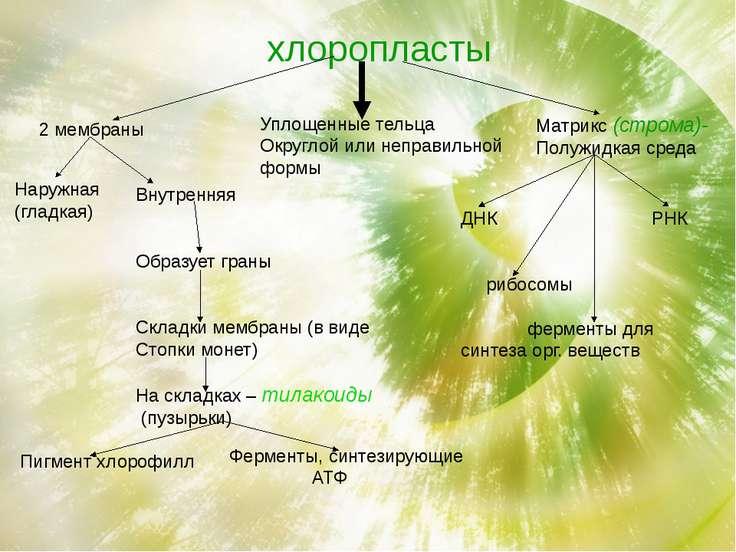 хлоропласты 2 мембраны Уплощенные тельца Округлой или неправильной формы Матр...