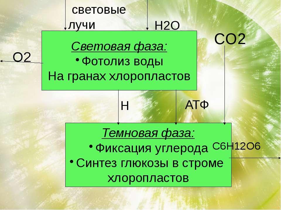 Световая фаза: Фотолиз воды На гранах хлоропластов Темновая фаза: Фиксация уг...
