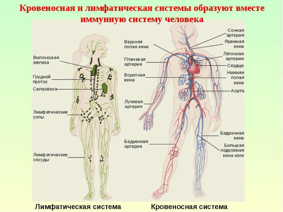 Лимфатическая система Кровеносная система Кровеносная и лимфатическая системы...