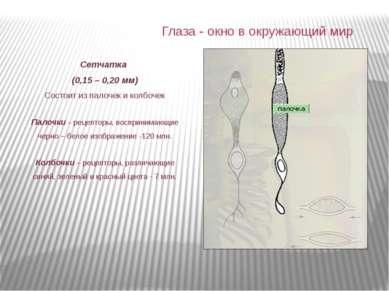 Сетчатка (0,15 – 0,20 мм) Состоит из палочек и колбочек Палочки – рецепторы, ...