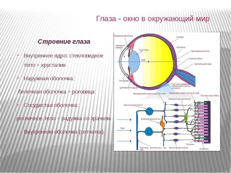 Строение глаза Внутреннее ядро: стекловидное тело + хрусталик Наружная оболоч...