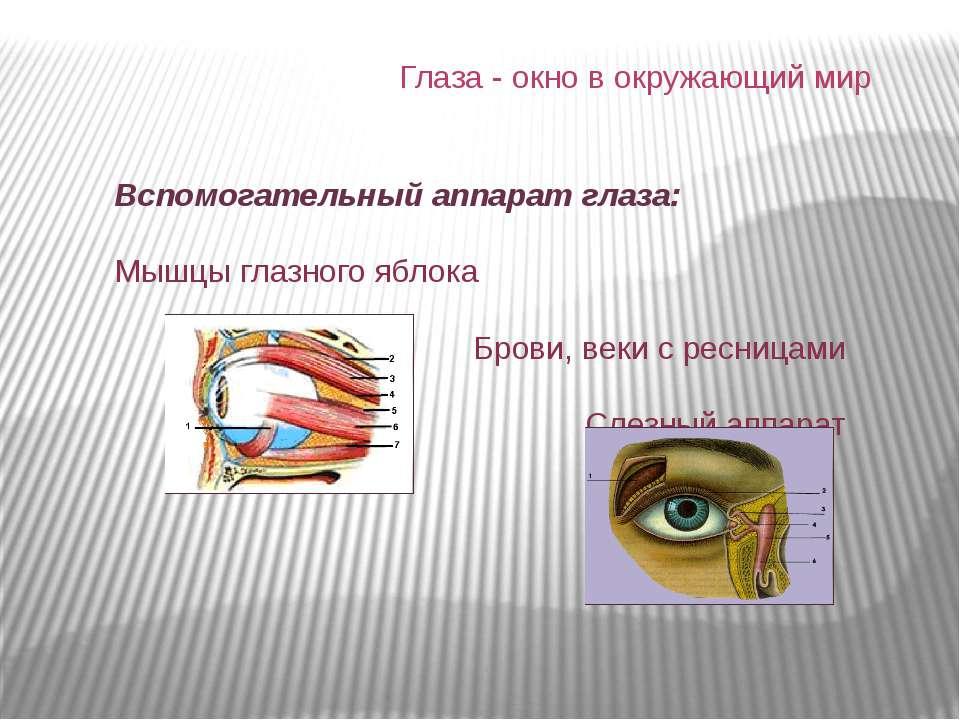 Вспомогательный аппарат глаза: Мышцы глазного яблока Брови, веки с ресницами ...
