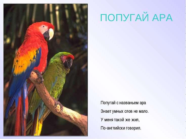 ПОПУГАЙ АРА Попугай с названьем ара Знает умных слов не мало. У меня такой же...
