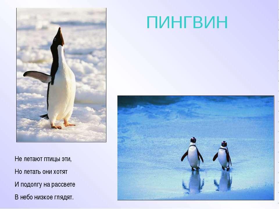 ПИНГВИН Не летают птицы эти, Но летать они хотят И подолгу на рассвете В небо...