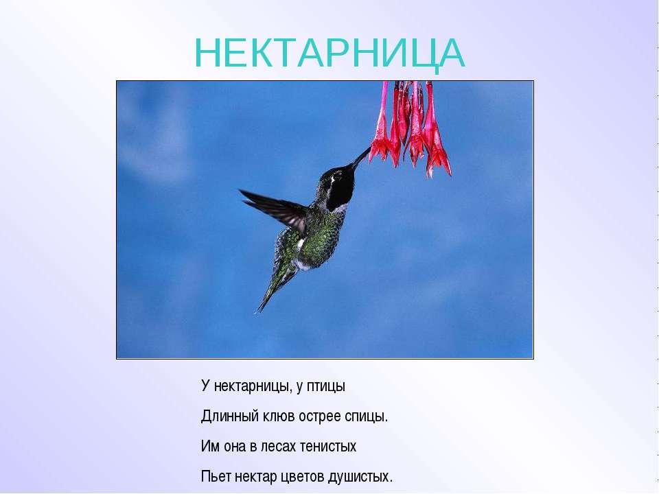 НЕКТАРНИЦА У нектарницы, у птицы Длинный клюв острее спицы. Им она в лесах те...