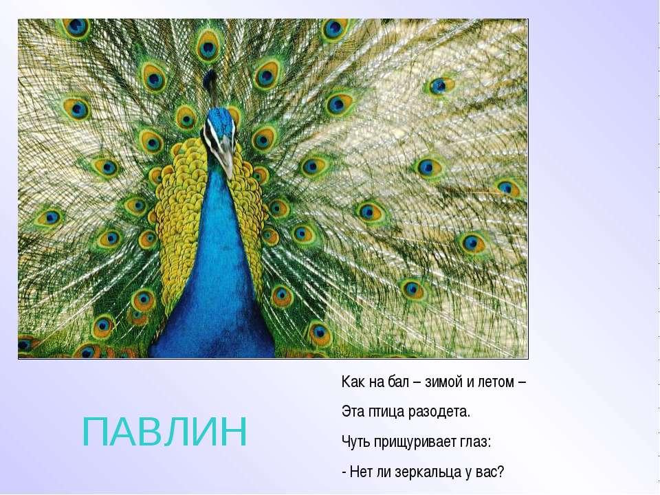 ПАВЛИН Как на бал – зимой и летом – Эта птица разодета. Чуть прищуривает глаз...