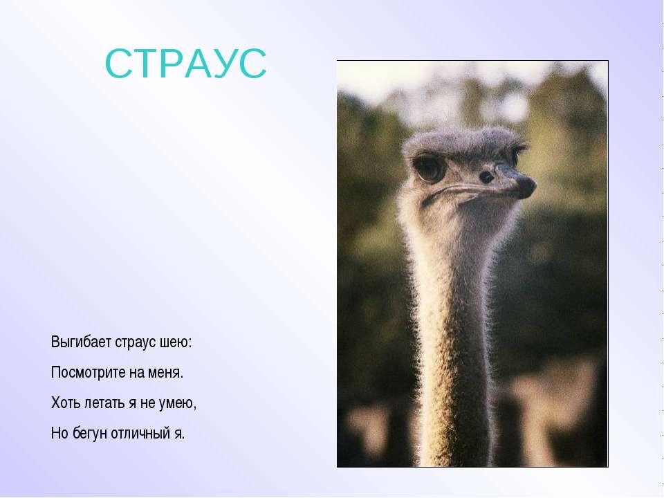 СТРАУС Выгибает страус шею: Посмотрите на меня. Хоть летать я не умею, Но бег...