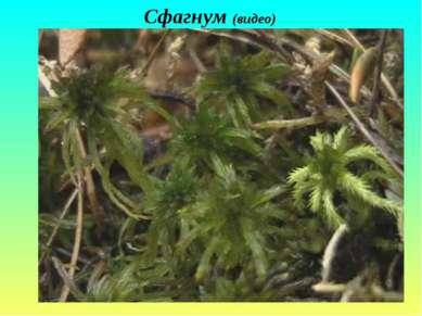 Сфагнум (видео)