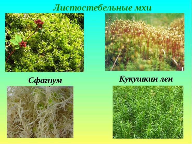Листостебельные мхи Сфагнум Кукушкин лен