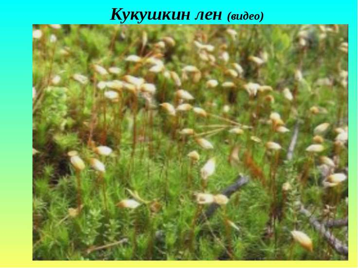 Кукушкин лен (видео)