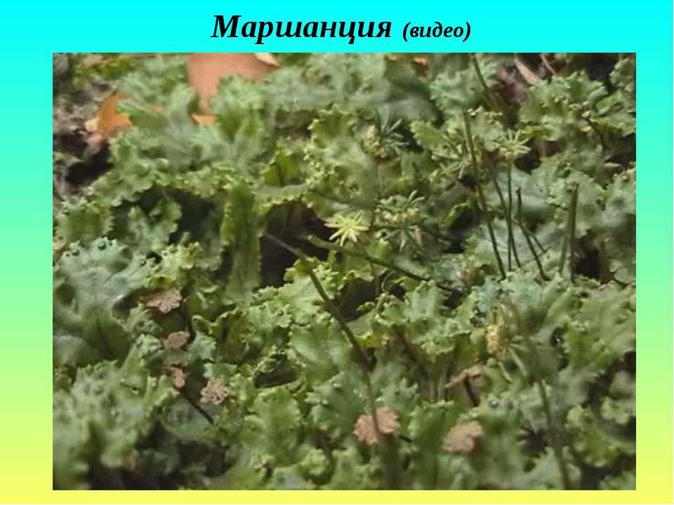 Маршанция (видео)