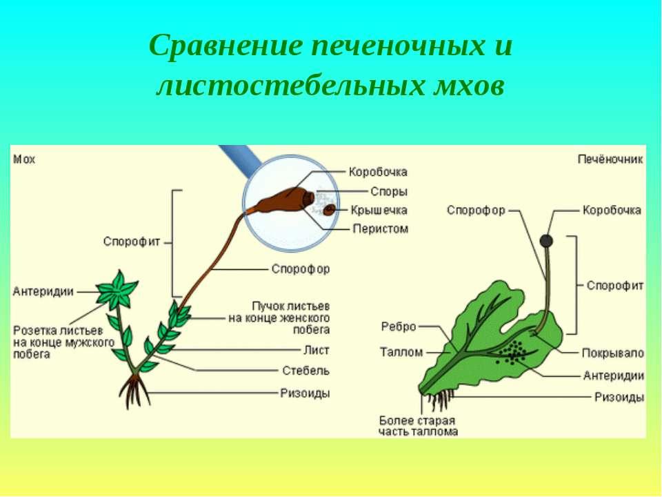 Сравнение печеночных и листостебельных мхов