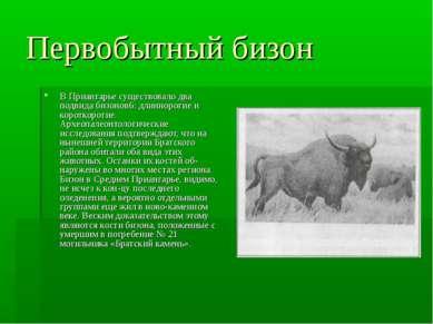 Первобытный бизон В Приангарье существовало два подвида бизонов6: длиннорогие...