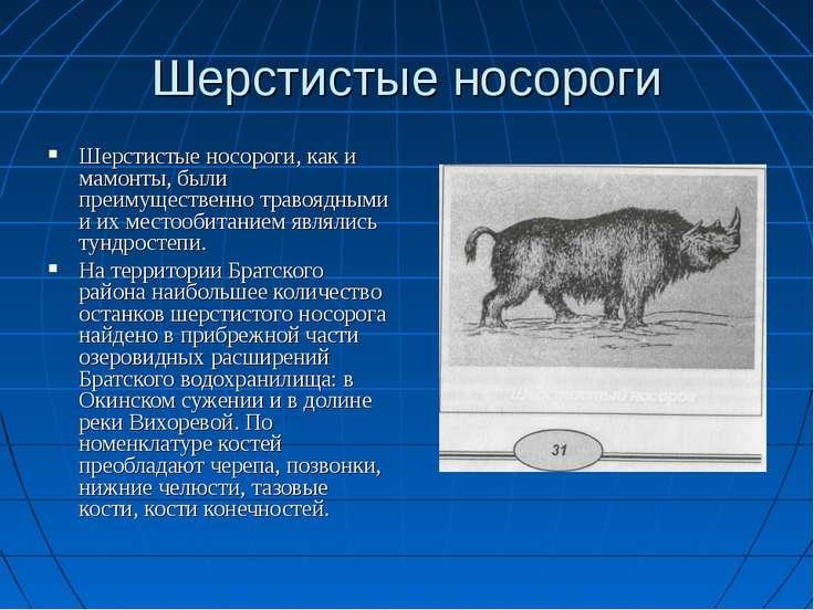 Шерстистые носороги Шерстистые носороги, как и мамонты, были преимущественно ...
