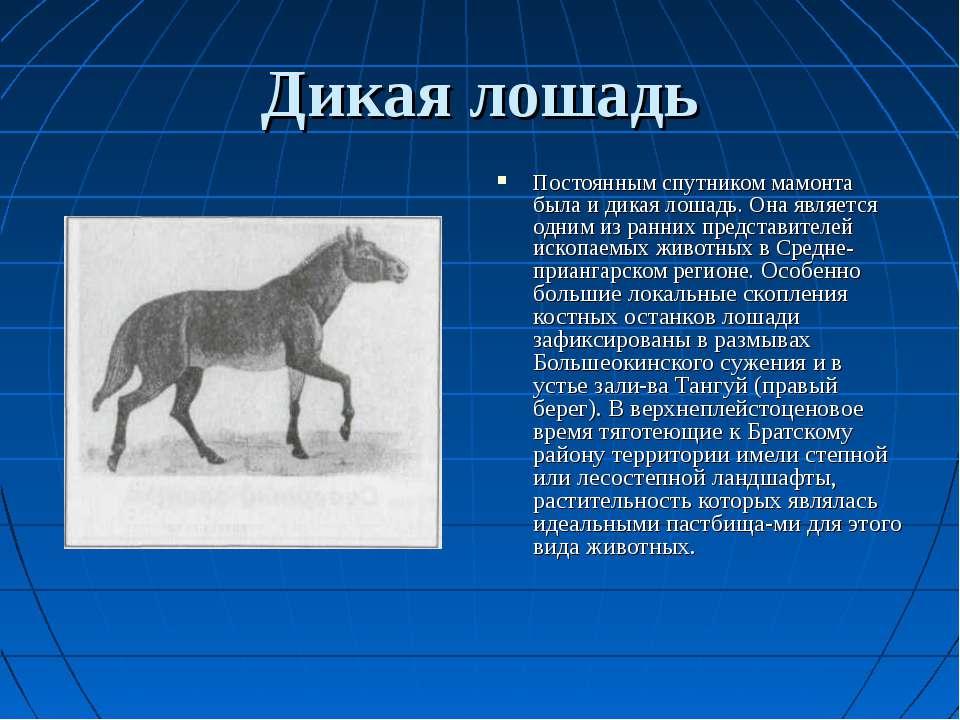 Дикая лошадь Постоянным спутником мамонта была и дикая лошадь. Она является о...