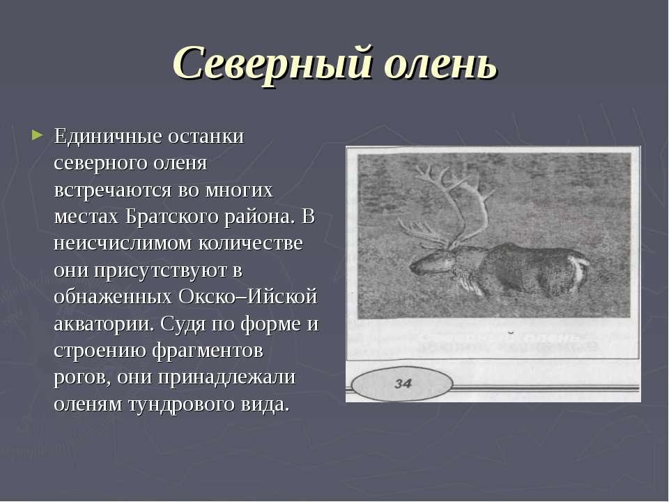 Северный олень Единичные останки северного оленя встречаются во многих местax...