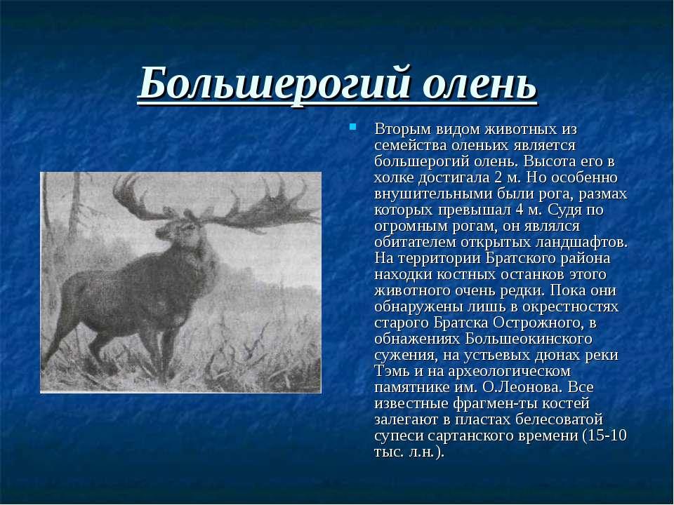 Большерогий олень Вторым видом животных из семейства оленьих является большер...