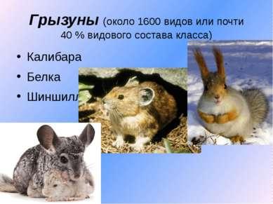 Грызуны (около 1600 видов или почти 40% видового состава класса) Калибара Бе...
