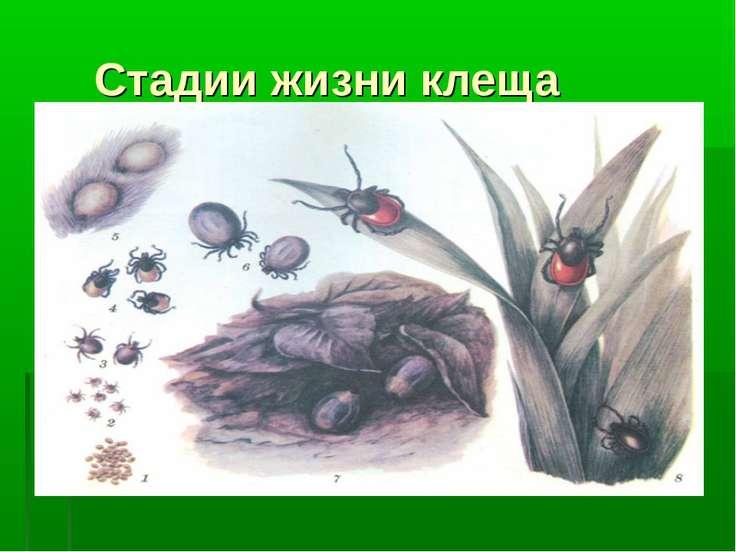 Стадии жизни клеща Личинка (размер 0,5мм) Нимфа (размер 1,5мм) Взрослый клещ ...