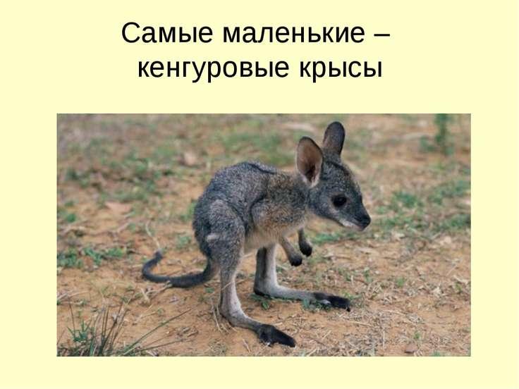 Самые маленькие – кенгуровые крысы