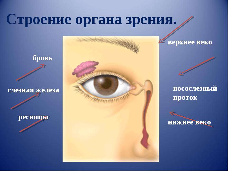 Строение органа зрения. бровь слезная железа ресницы носослезный проток верхн...