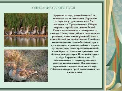 ОПИСАНИЕ СЕРОГО ГУСЯ Крупная птица, длиной около 1м с плотным телосложением....