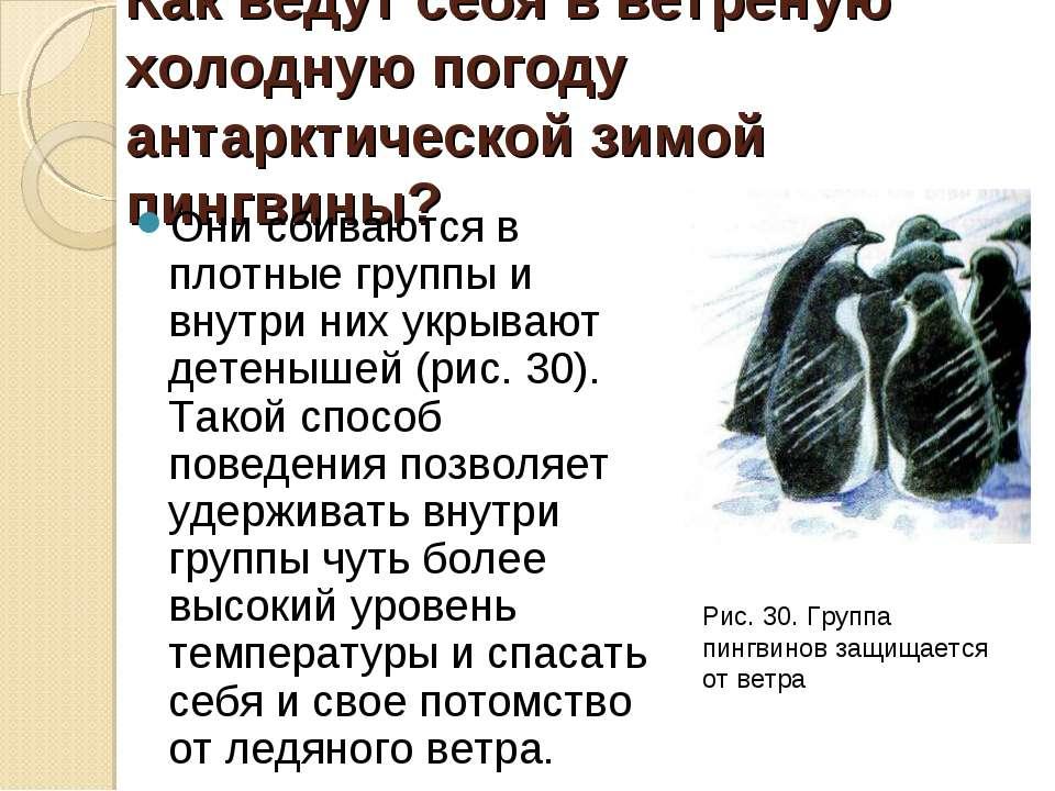 Как ведут себя в ветреную холодную погоду антарктической зимой пингвины? Они ...
