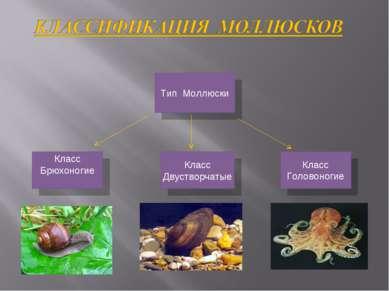 Класс Брюхоногие Класс Двустворчатые Класс Головоногие Тип Моллюски
