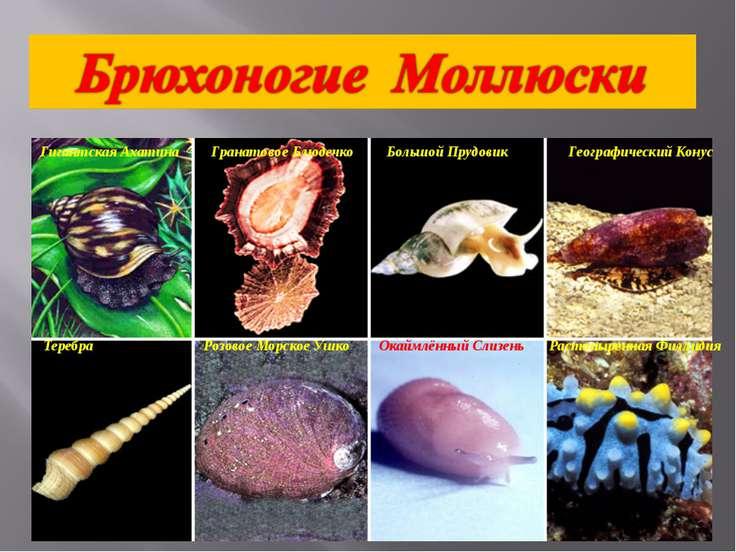 Гигантская Ахатина Гранатовое Блюдечко Большой Прудовик Географический Конус ...