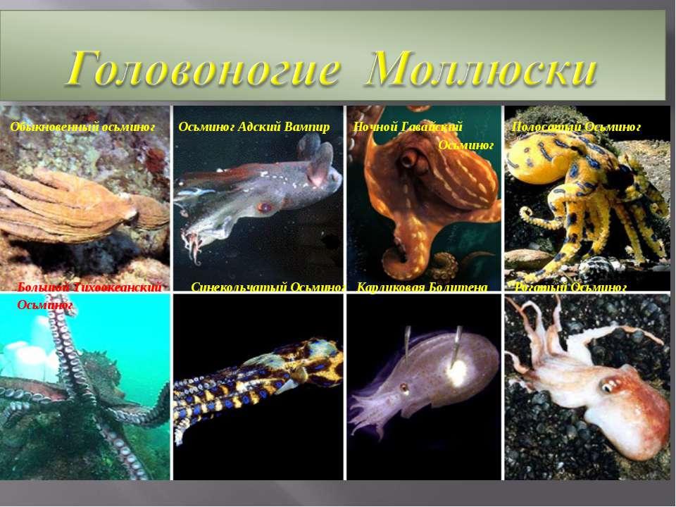 Обыкновенный осьминог Осьминог Адский Вампир Ночной Гавайский Полосатый Осьми...