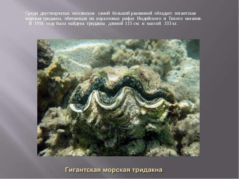 Среди двустворчатых моллюсков самой большой раковиной обладает гигантская мор...