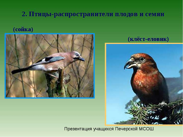 как насекомоядные птицы распространяют плоды и семена растений в природе поверхности приклада так