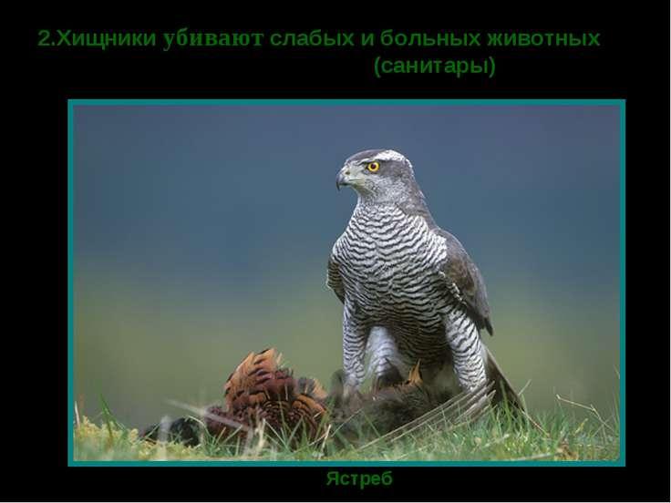 2.Хищники убивают слабых и больных животных (санитары) Ястреб