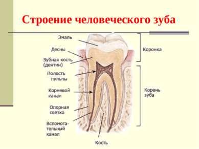 Строение человеческого зуба