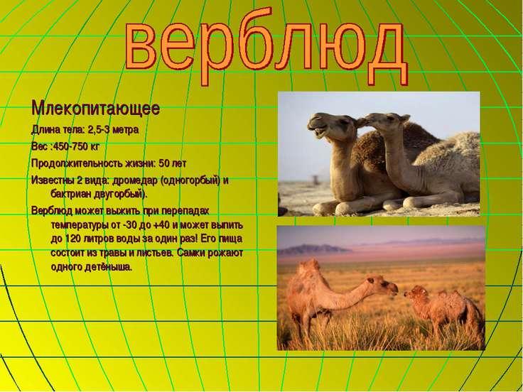 Млекопитающее Длина тела: 2,5-3 метра Вес :450-750 кг Продолжительность жизни...